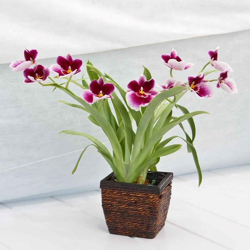 Miltonia Orchid In Wood And Wicker Container Miltonia Orchid Artificial Flowers And Plants Plant Gifts