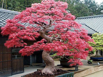 l rable du japon jardin japonais erable du japon jardins et bonsai erable. Black Bedroom Furniture Sets. Home Design Ideas