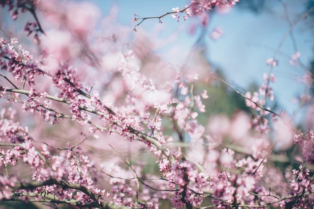 How Is Spring Treating You So Far Now Is A Good Time To Say Good Bye To The Old And Hello To Fresh New Per Redbud Tree Spring Pictures Cherry Blossom Festival