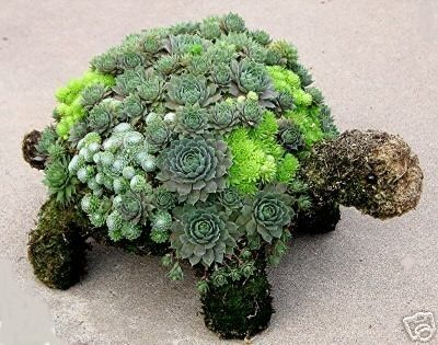 Hens and chicks turtle