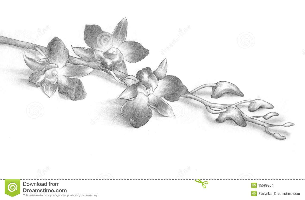 Pencil Drawing Of Orchid Flowers Stock Images Image 15589264