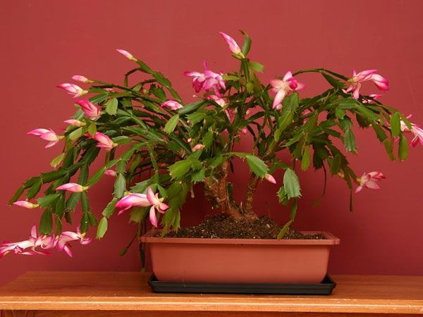 Christmas Cactus How To Care For And Make It Bloom garden plantz