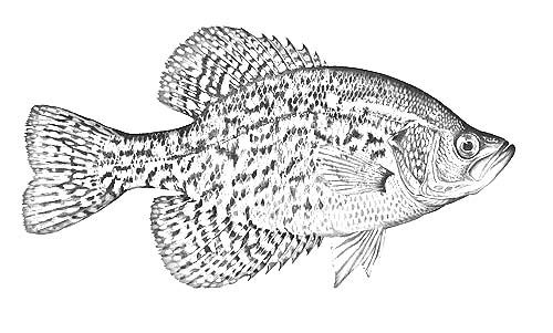 Bluegill Drawing Google Search 1intarsia Wood Patterns In 2019