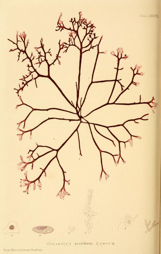 The nature-printed British sea-weeds : 1859