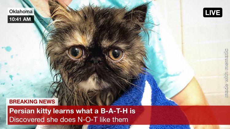 Instagram Dollypersian Cats Kittens Cutekittens Adorable Persiancats Persiankittens Kittenlovers Catlovers Catme Persian Kittens Cat Memes Cute Cats