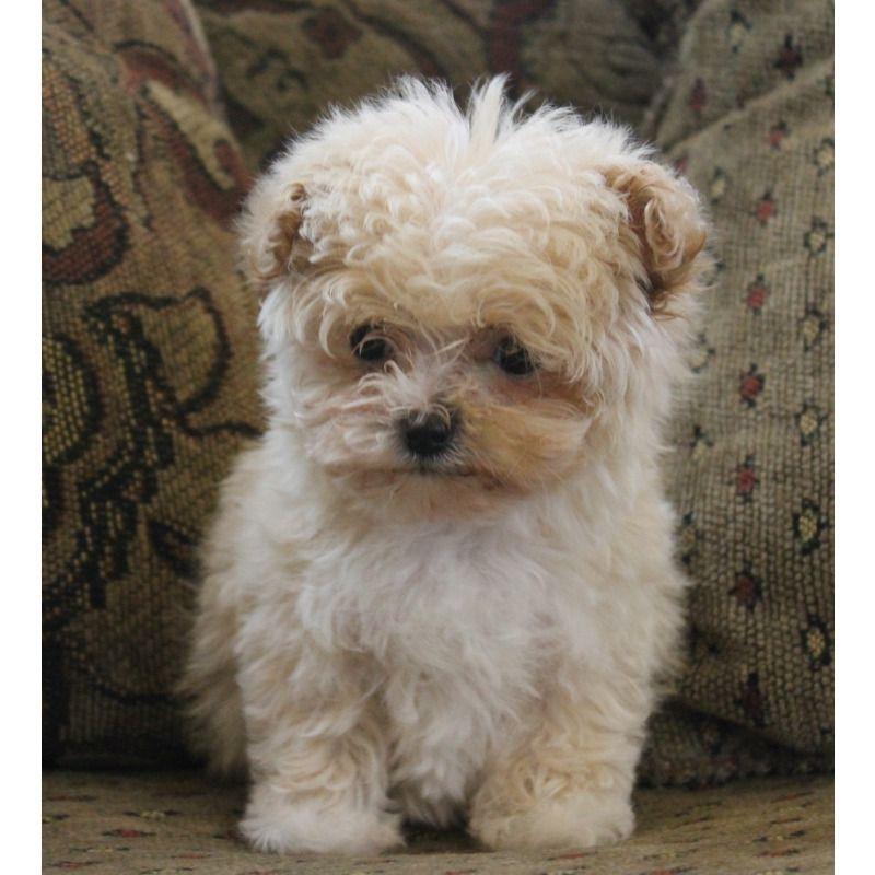 Puppies For Sale Maltipoos Maltepoos In Franktown Colorado