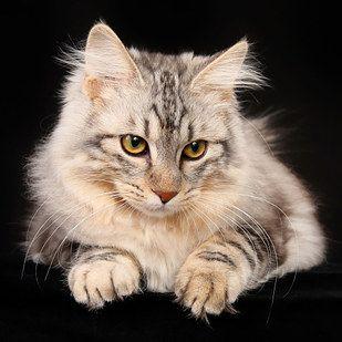 Kurilian Bobtail Rare Cats Rare Cat Breeds Cat Breeds