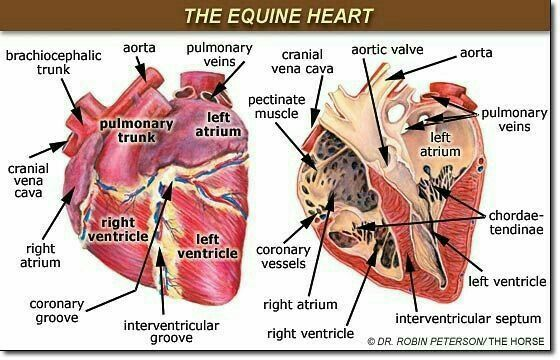 Corazón equino ❤ | Un poco d Anatomía Equina | Pinterest | Anatomía ...