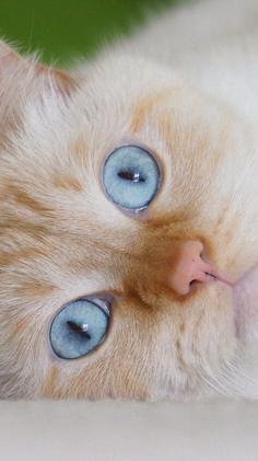Eyes - Cat - Blue