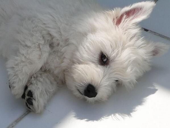 Sofabpets On White Terrier Westie Puppies Baby Dogs