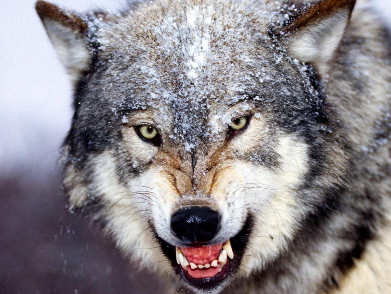 カッコよくこちらを見る狼