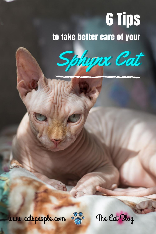 6 Sphynx Cat Care Tips Sphynx cat, Sphynx, Cats