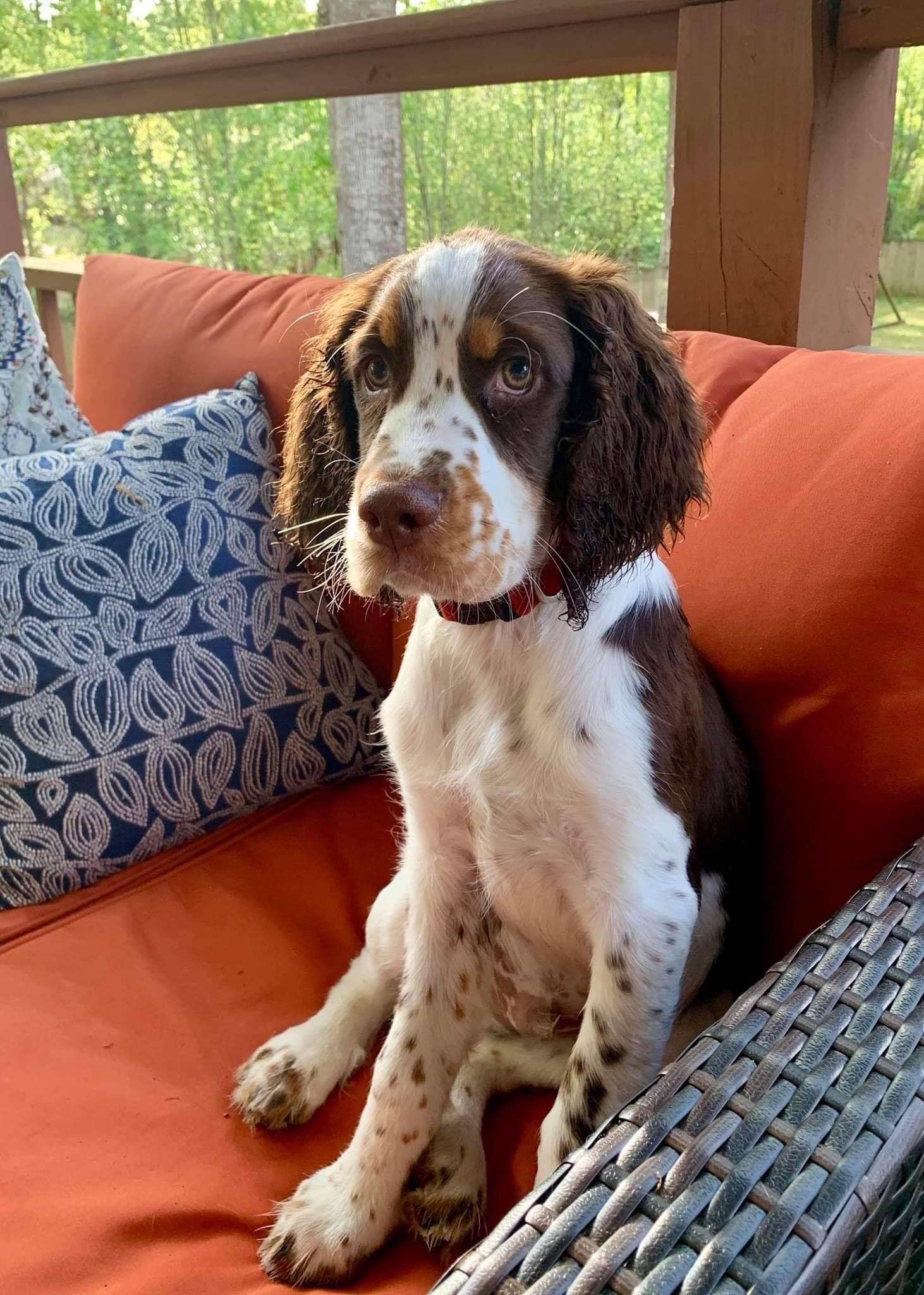Pin By Richard Heise On English Springer Spaniels In 2020 Dog Love Welsh Springer Spaniel Animals Beautiful