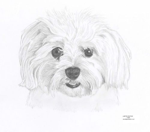 Maltese Terrier Dog Portrait Limited Edition Drawing Art Print By