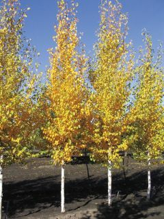 Columnar Ginko Trees Deciduous Trees Garden Trees 400 x 300