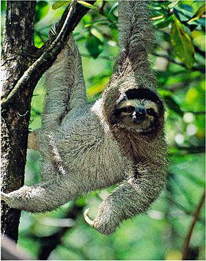 Pygmy three-toed sloth - Google Search