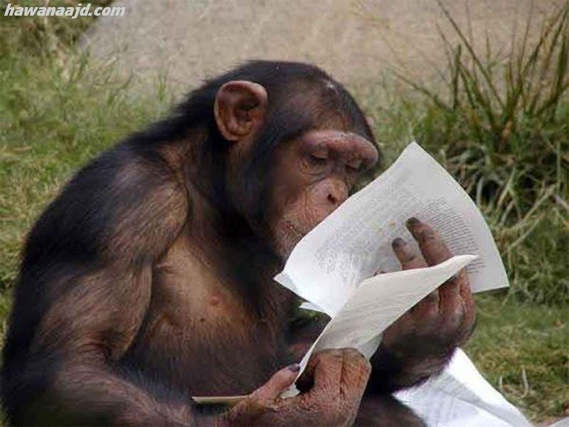 Monkey صور اسماك مضحكة خلفيات مضحكه Funny Chimp Animals Cows Funny
