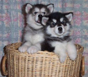 Huskies in a basket!