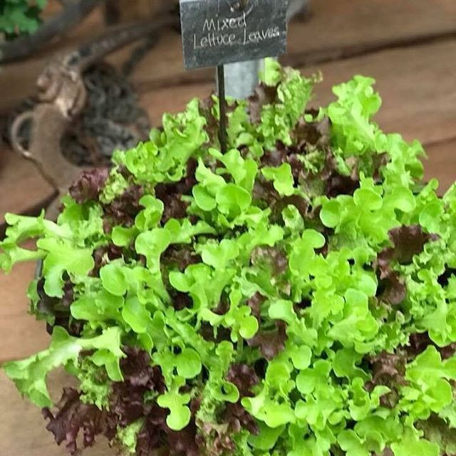 Mixed Lettuce Leaves Are Fabulous For Salads Sow A Little Seed