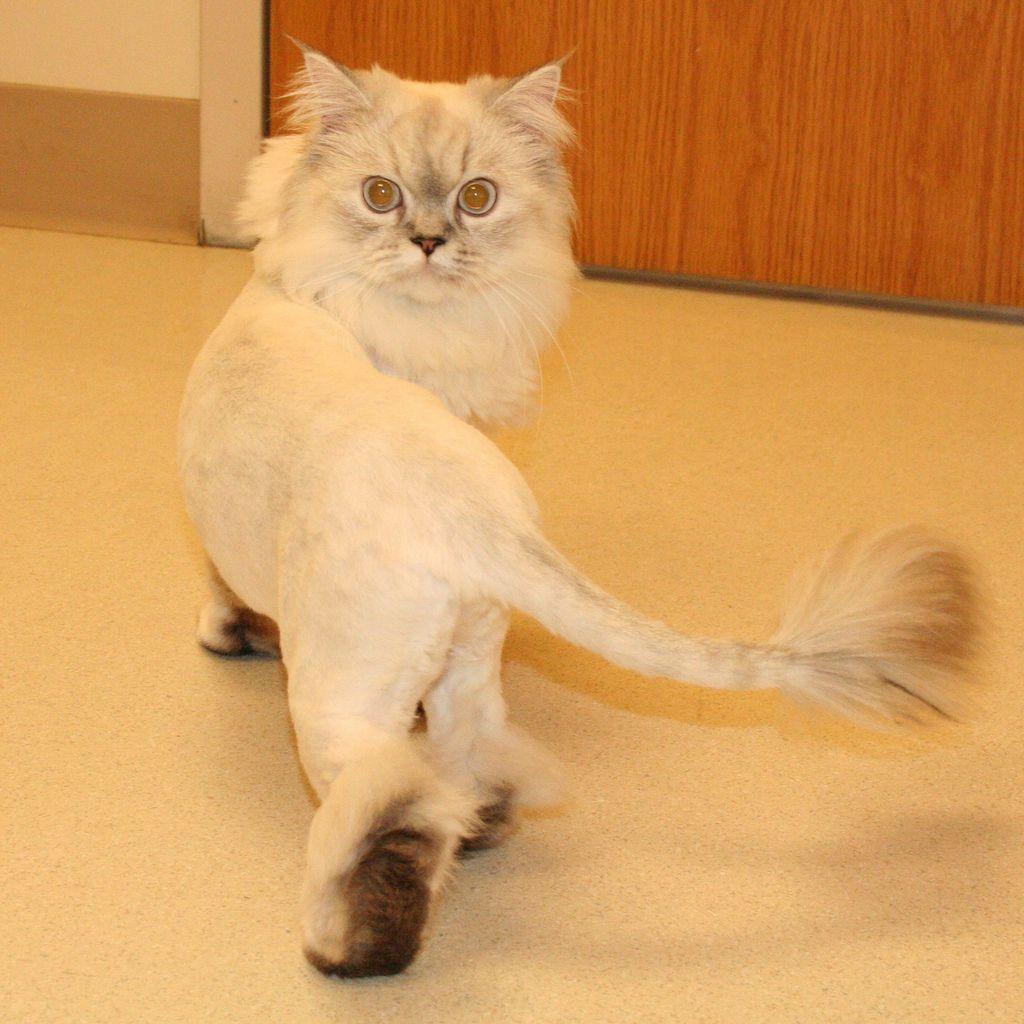 4427993384_a5dc8acc0a_b.jpg (1024×1024) Cat haircut