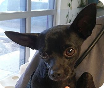 Tucson Az Chihuahua Mix Meet Cole A Dog For Adoption Http