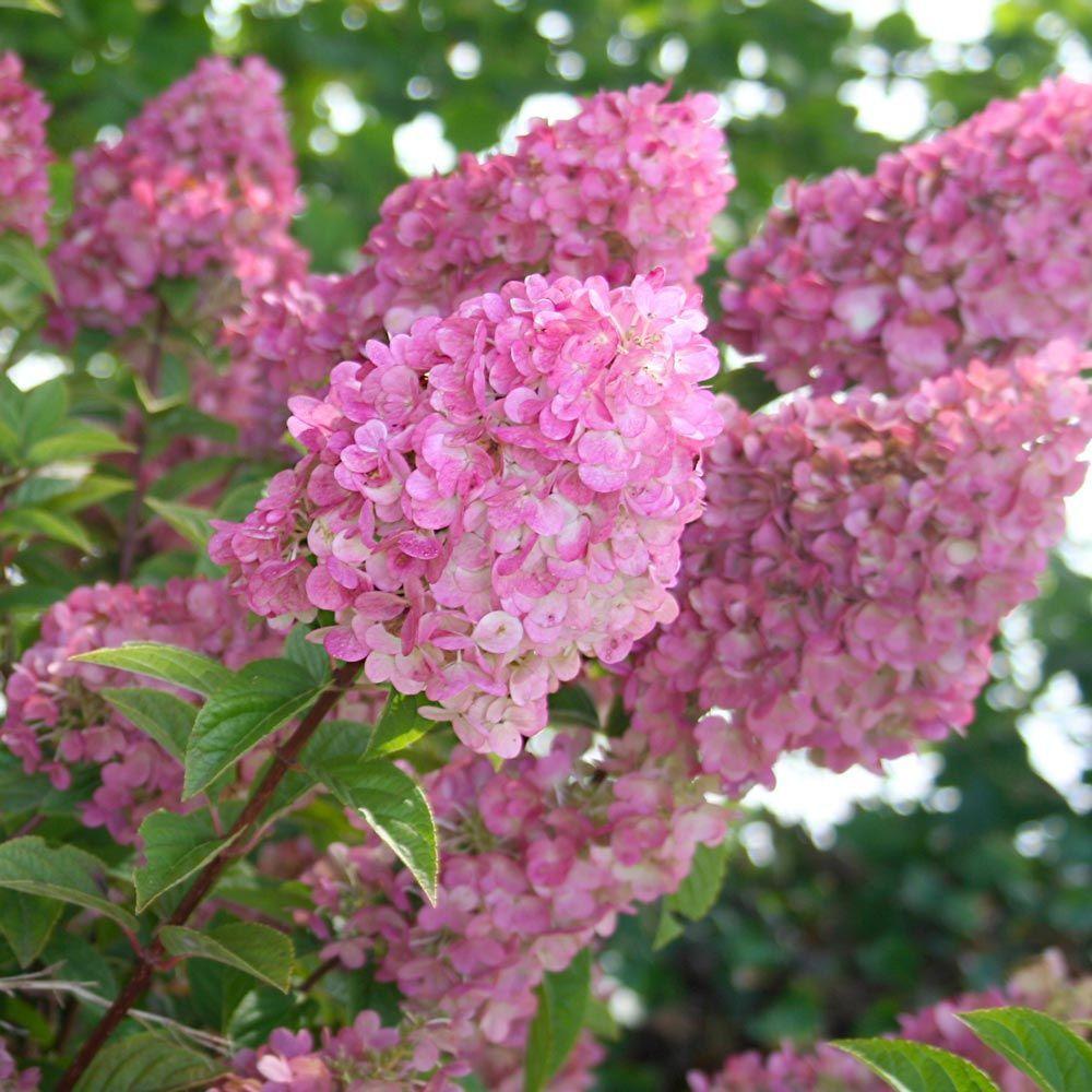 Hydrangea Paniculata Strawberry Sundae Hydrangea Paniculata White Flower Farm Panicle Hydrangea