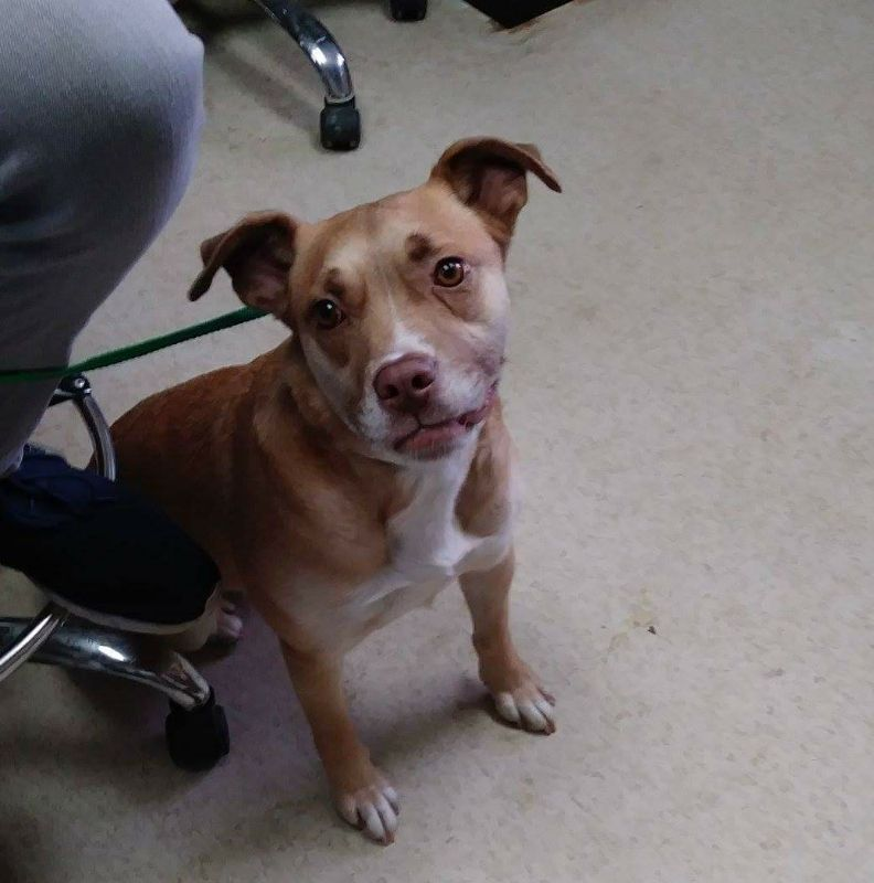 Bullboxer pit dog for adoption in clarkesville ga adn