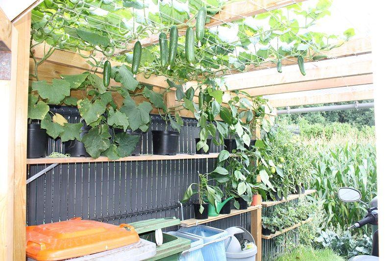 Mini komkommer in pot g dak van onze pergola