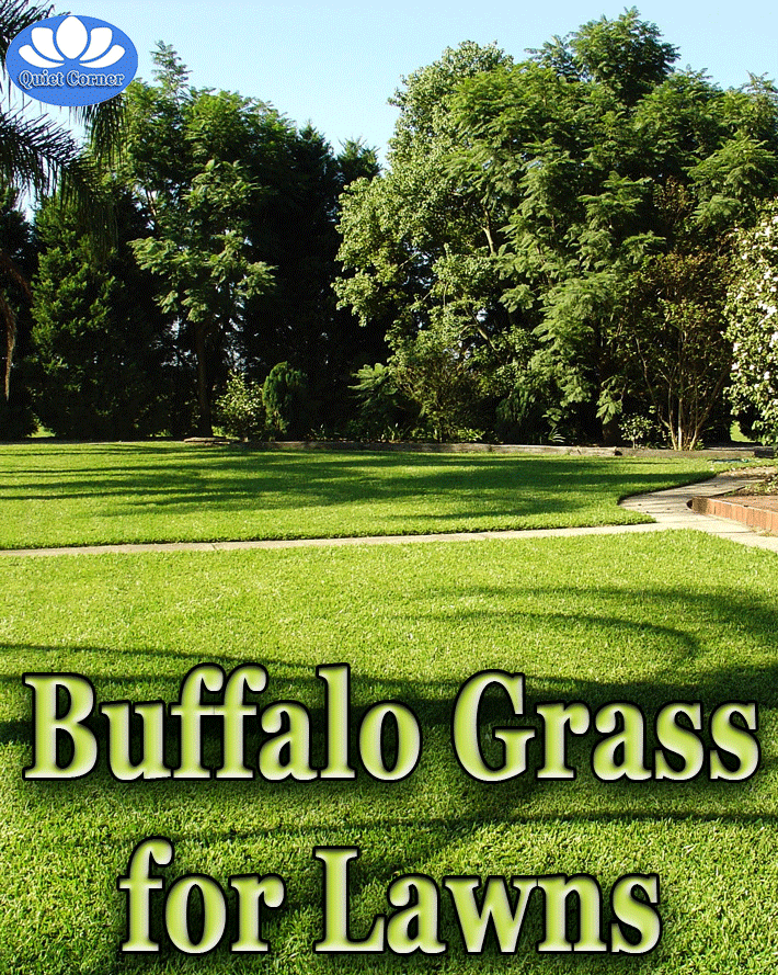 Buffalo Grass Lawn Grass Lawncare Backyard Garden Organic Lawn Lawn Grasses Landscaping