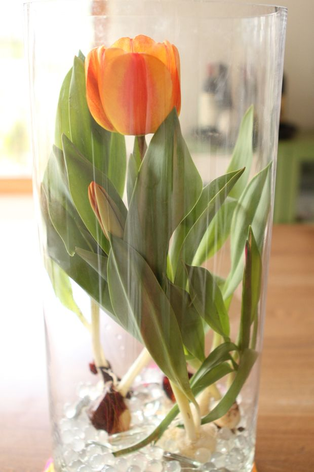 For Mom Beautiful Tulips Arranged In A Glass Vase Tulip Bulbs