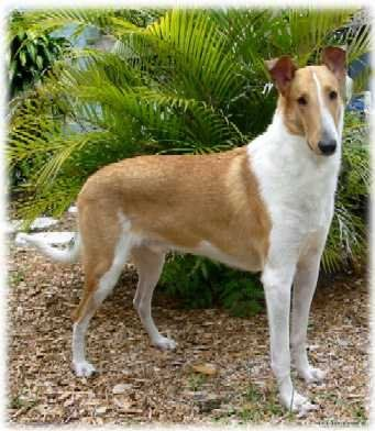 Collie Rough And Smooth Scottish Collie Collie Breeds Collie