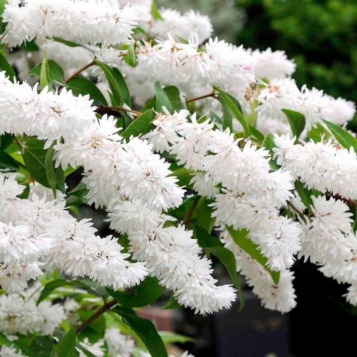 Flowers To Grow In Small Pots: Deutzia Scabra. Arching Branches Of Fragrant Flowers An