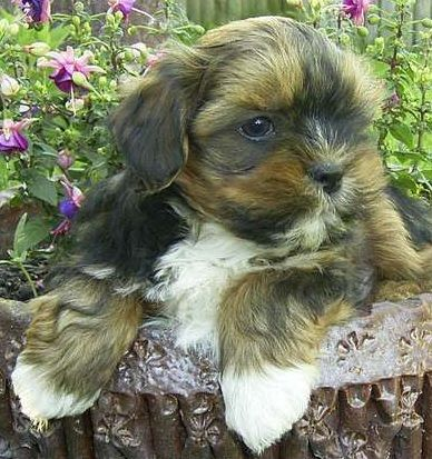 Pug And Lhasa Apso Pughasa Super Cute Dogs Mixed Breed Puppies