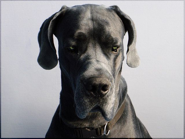 My Angel Great Dane Dogs Merle Great Danes Dane Dog
