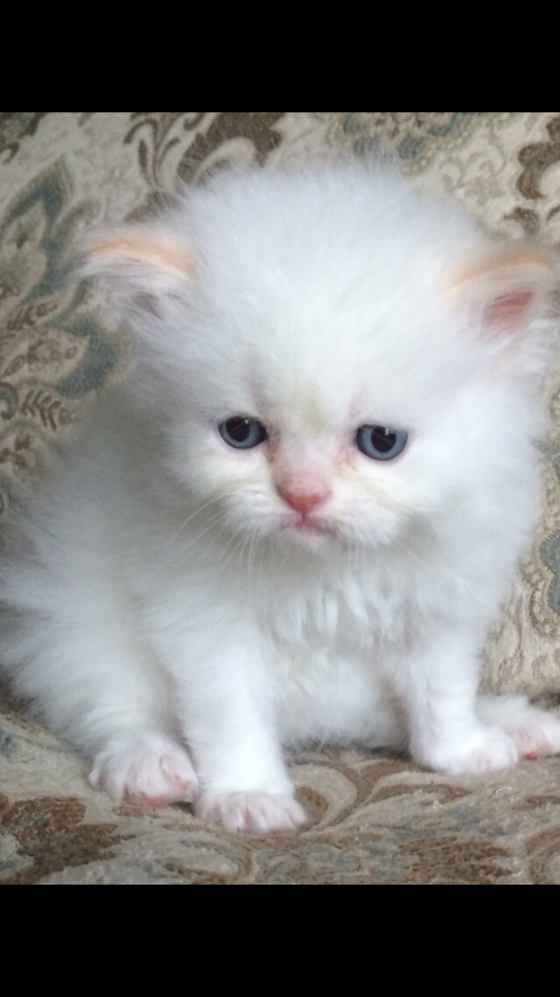 Kendra Click Here Persian kittens for sale, Persian