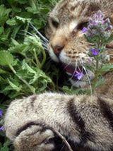 Is Catnip Safe For Cats Cat Safe Plants Pets Cat Garden
