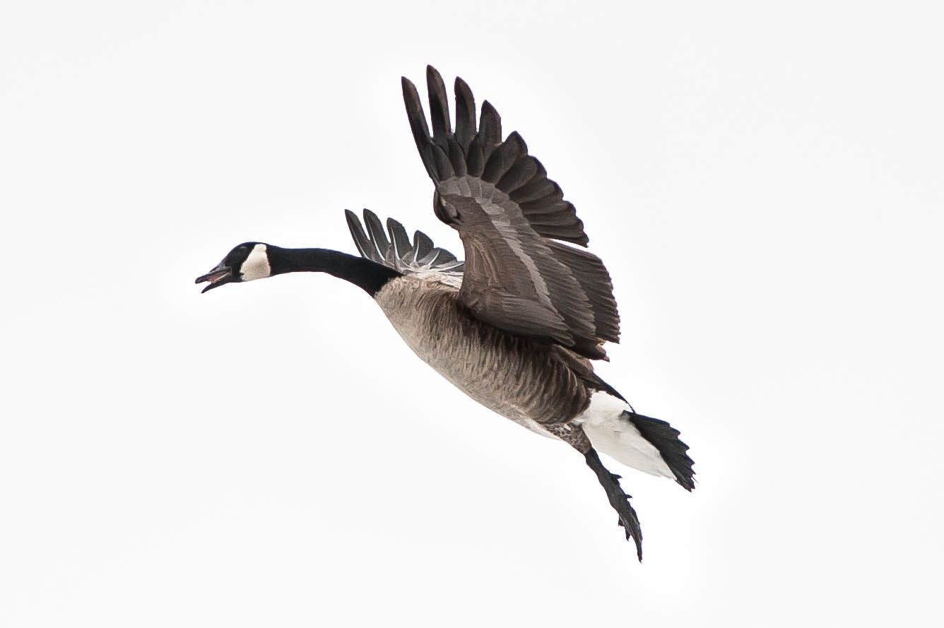 Canadian Goose by Justin Lo on 500px