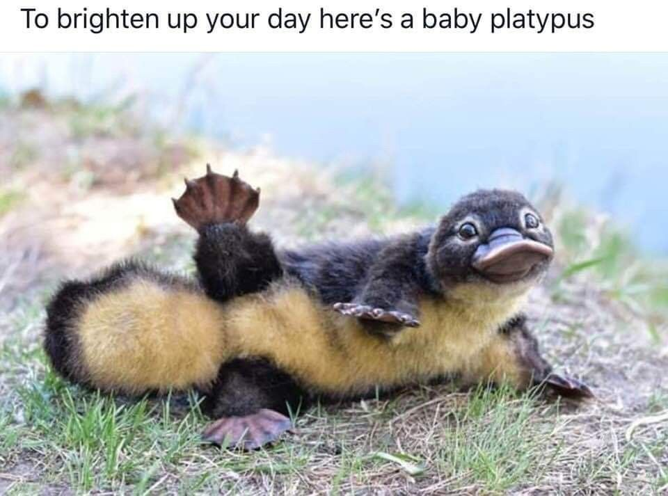 Pin By Cindy Bentley On Amazing Baby Animals Baby Platypus Cute