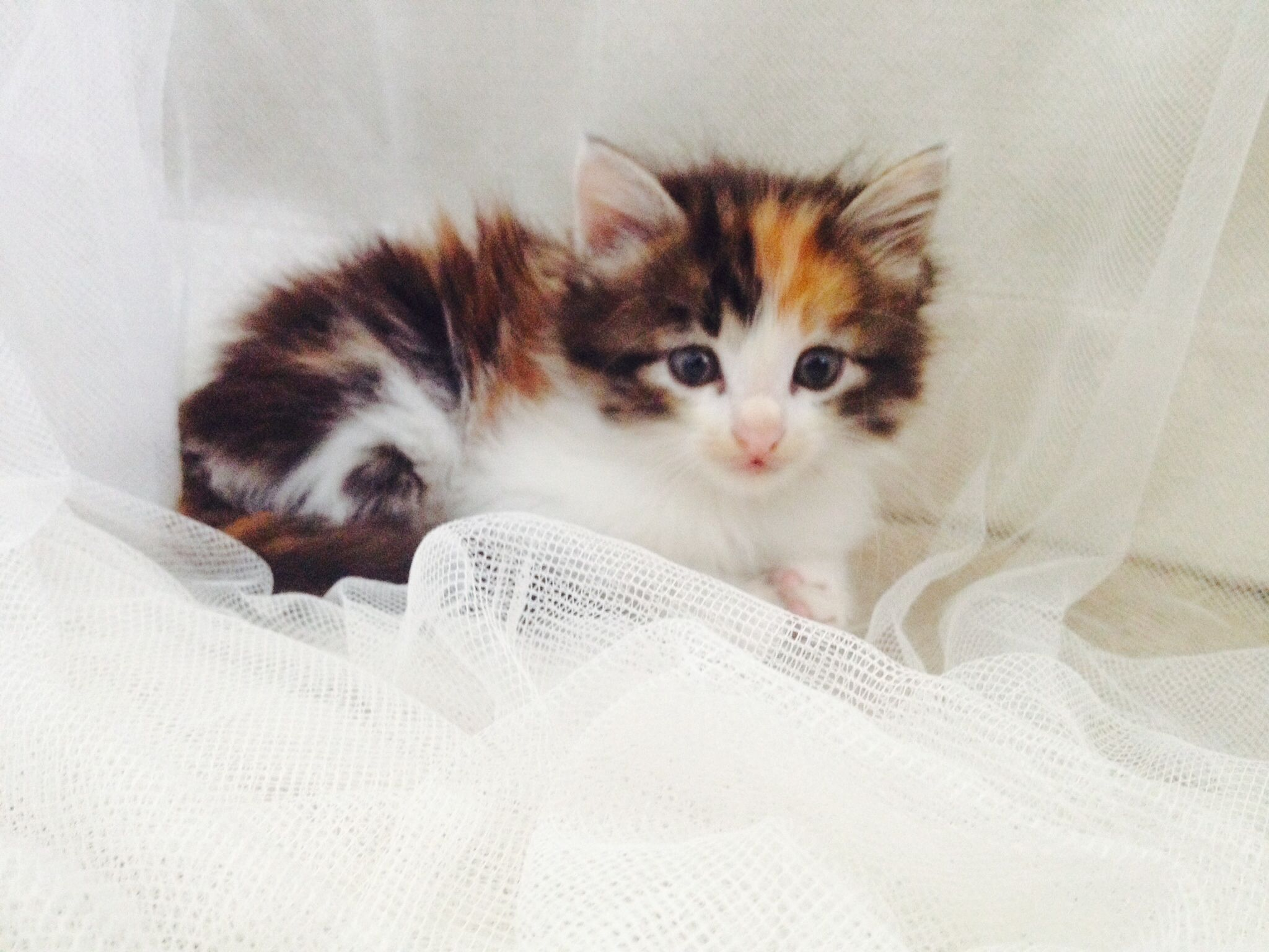 5 week old calico Maine Coon kitten. Classic longhair cat
