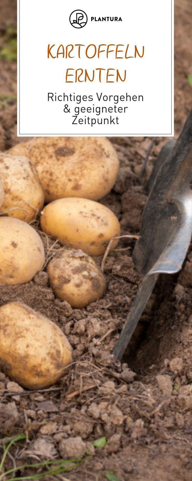 Erntezeit Kartoffeln