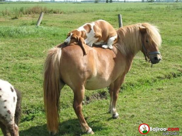 Dog Is Sleeping On Horse Like A Boss