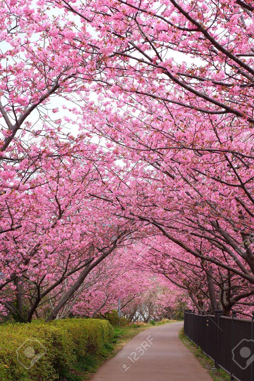 a0b70ae1e Flor De Cerejeira, Paisagismo Jardim, Coisas Incríveis, Arvores, Caminhos,  Árvores Floridas