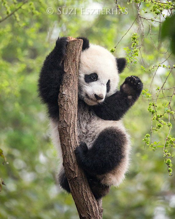 BABY PANDA Playing PHOTO, Baby Animal Photograph, Baby Animal Print, Wildlife Photography, Wall Deco #babypandabears