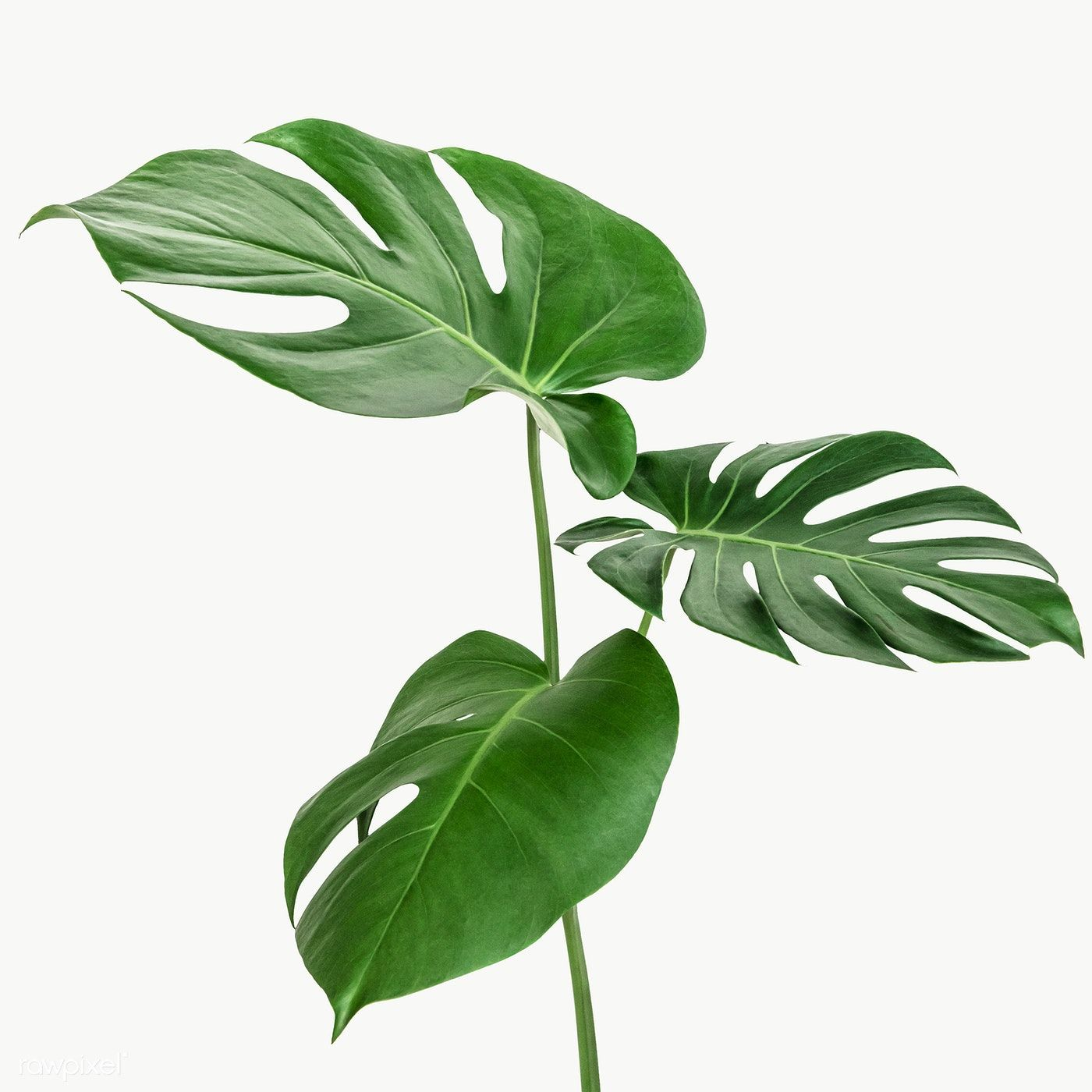 Split Leaf Philodendron Monstera Plant Element Transparent Png Free Image By Rawpixel Com Teddy Rawpixel Tanaman Hijau Cetakan Bunga Tanaman