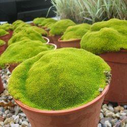 La mousse dans le jardin japonais plantes tapissantes cover plants garden deco garden - Plantes jardin japonais ...