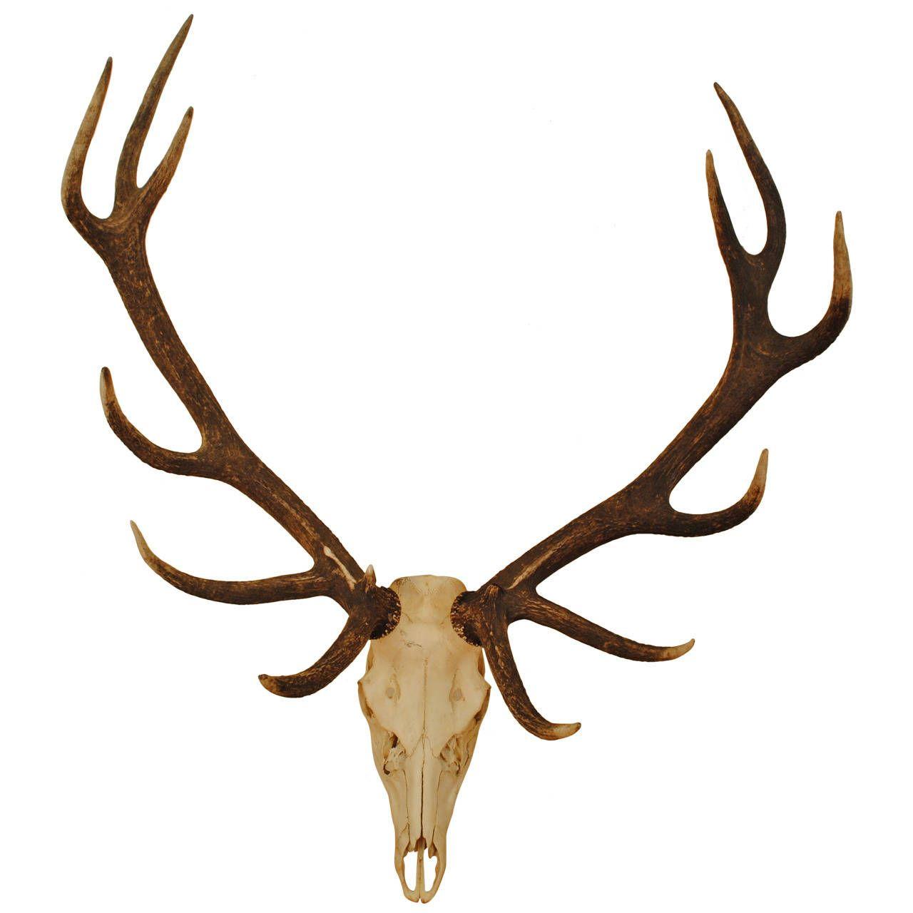 European Elk Skull Mount Taxidermy And Elk
