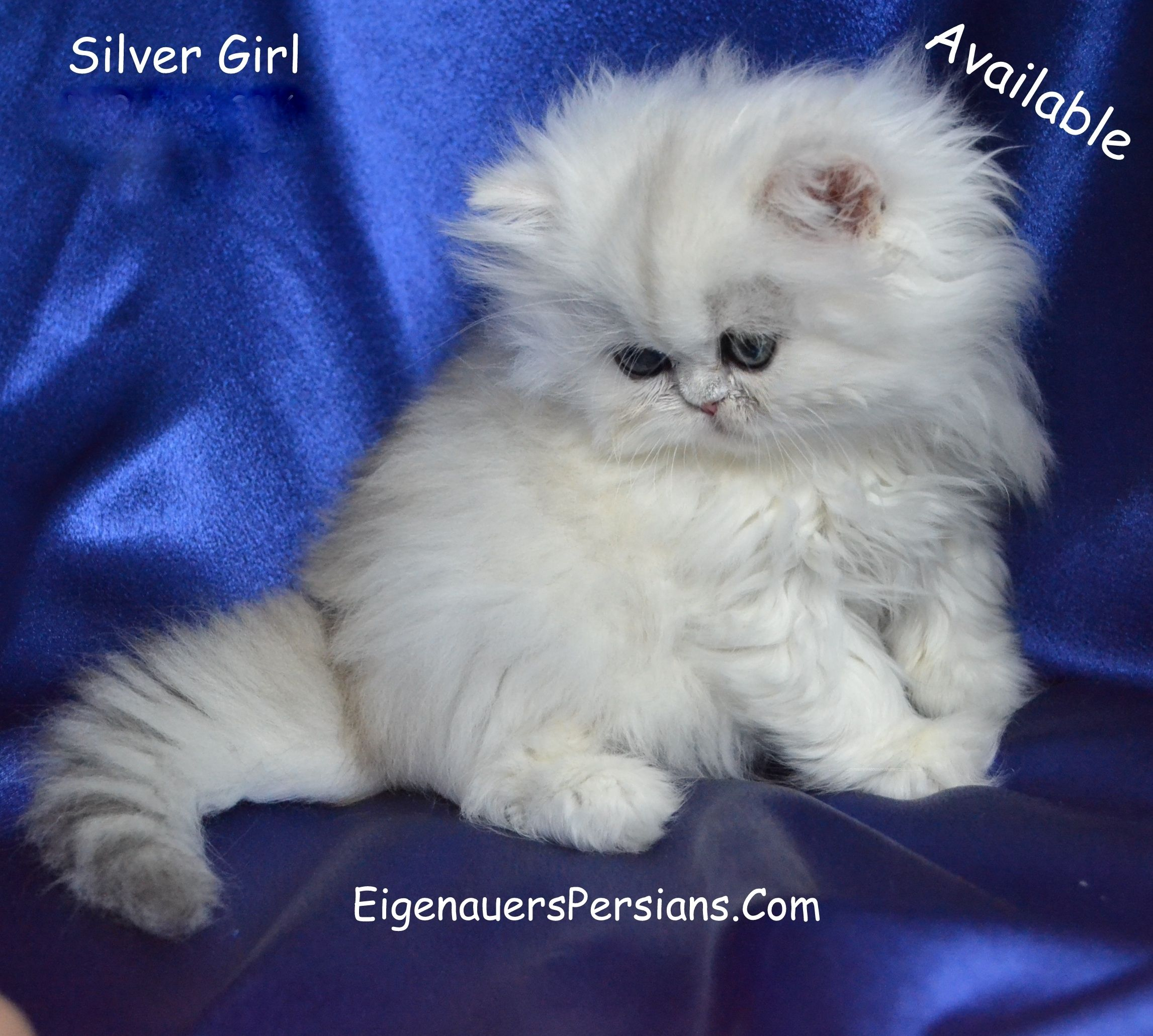 Dollface Persian Kitten [Baby Persians][Tea Cup Persian Kittens