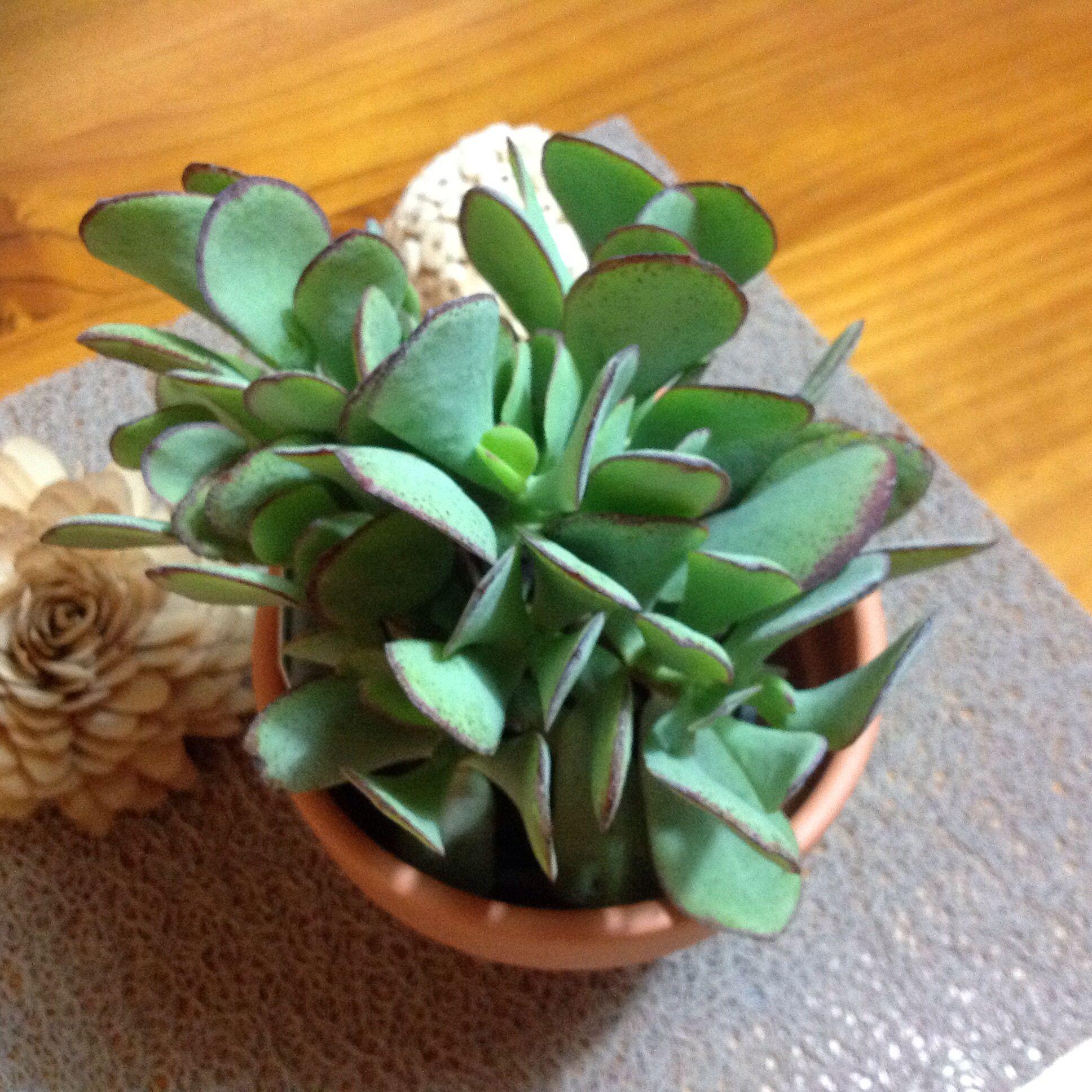 Crassula Arborescens (Silver Jade) Or Blue Bird · Piante Senza RadiciBonsai Piante ...