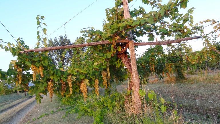 Leone Conti Wine Dharma Pergola, Cantina, Albania