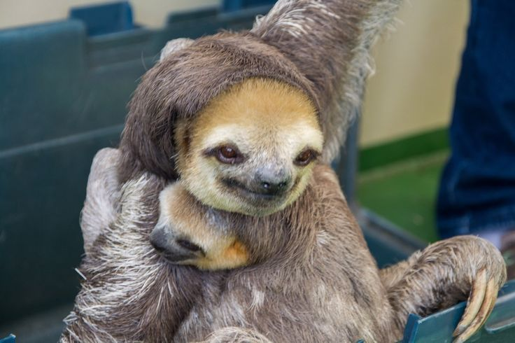Faultier mit Jungem   Cute animals, Cute sloth, Sloth